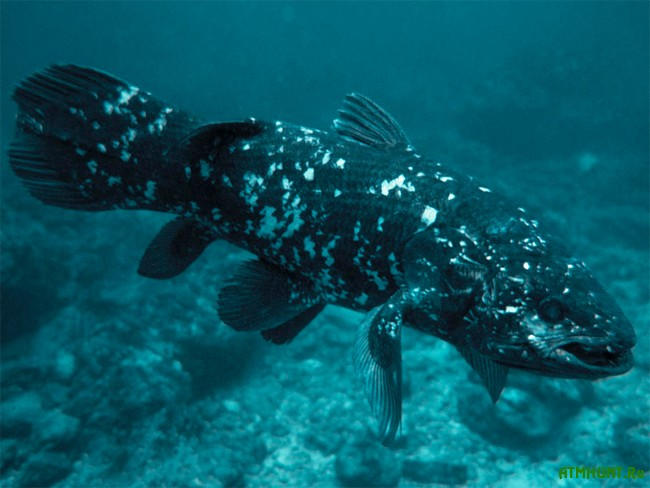 необычная рыба латимерия
