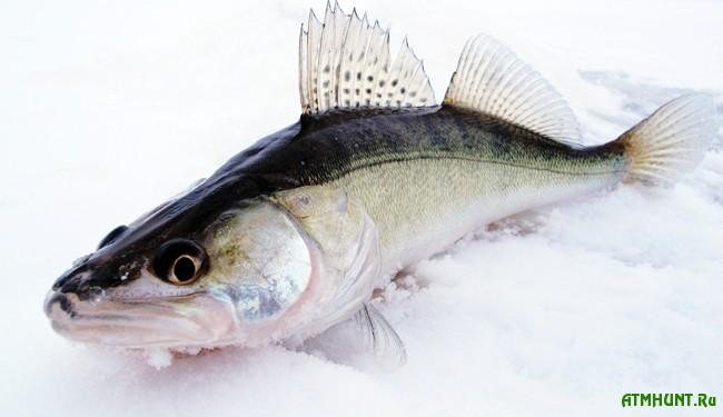 Зимняя рыбалка: ловля судака в отвес