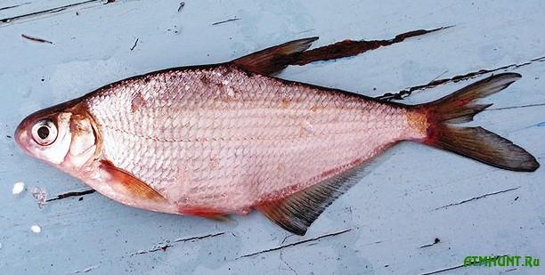 рыба белоглазка