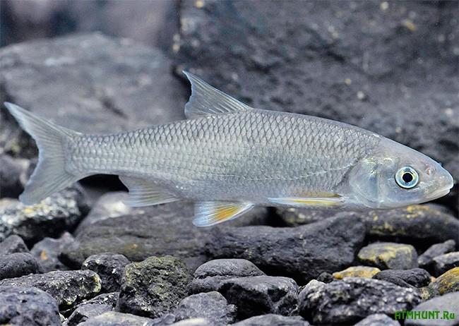 рыба елец описание