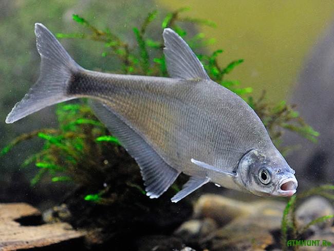 рыбы синец фото