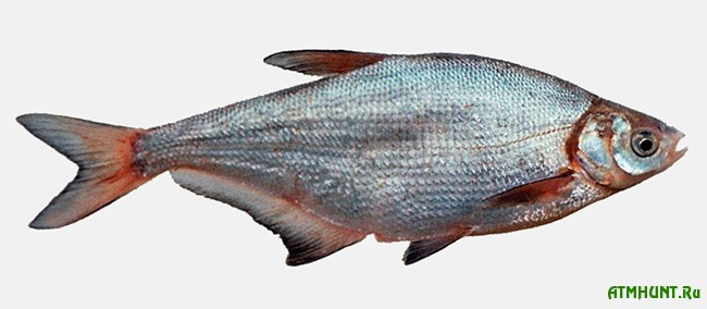 синец рыба семейства карповых