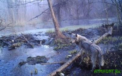 stalo-izvestno-kakie-zhivotnye-vernulis-v-chernobylskuyu-zonu_2