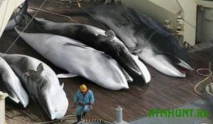 fin-whale-Michinoku-Farm-killers