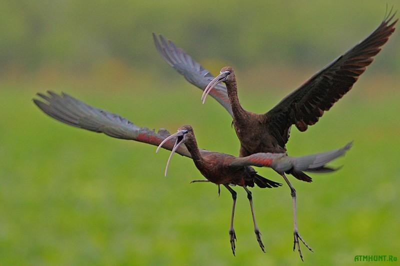 Iz Afriki v Ukrainu prileteli redchajshie blestjashhie ibisy 1