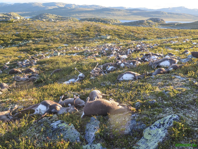 epa05513485 A handout picture provided by the Norwegian Environment Agency (Miljodirektoratet) shows more than 300 wild reindeer which were found dead on Hardangervidda, Norway, 28 August 2016. The animals apparently died after lightning struck the central mountain plateau.  EPA/HAVARD KJOTVEDT/SNO/MILJODIREKTORATET NORWAY OUT. MANDATORY CREDIT: EPA/HAVARD KJOTVEDT/SNO/MILJODIREKTORATET HANDOUT EDITORIAL USE ONLY/NO SALES
