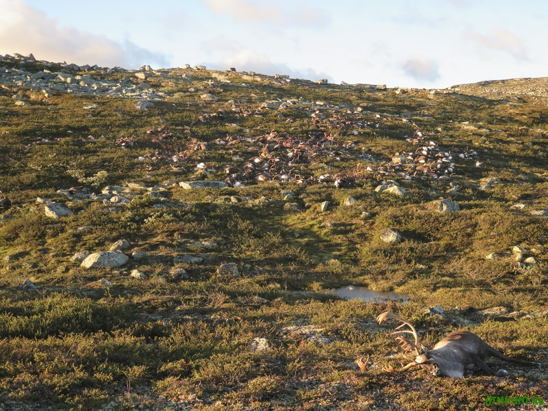 epa05513486 A handout picture provided by the Norwegian Environment Agency (Miljodirektoratet) shows more than 300 wild reindeer which were found dead on Hardangervidda, Norway, 28 August 2016. The animals apparently died after lightning struck the central mountain plateau.  EPA/HAVARD KJOTVEDT/SNO/MILJODIREKTORATET NORWAY OUT. MANDATORY CREDIT: EPA/HAVARD KJOTVEDT/SNO/MILJODIREKTORATET HANDOUT EDITORIAL USE ONLY/NO SALES